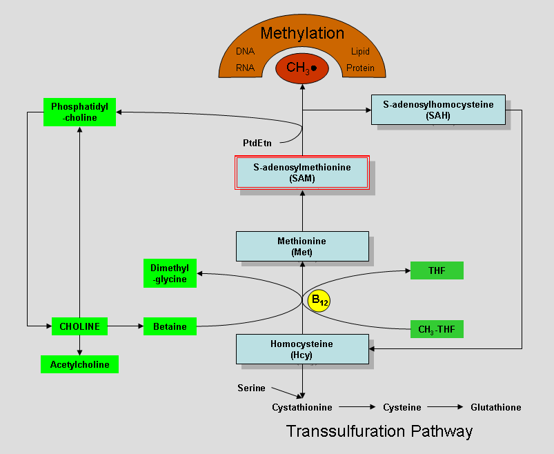 Choline_metabolism