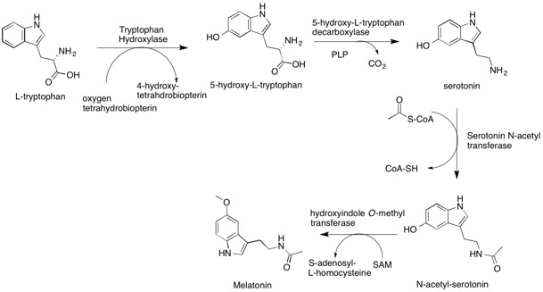 Melatonin Biosynthesis (public domain, Wikimedia Commons)