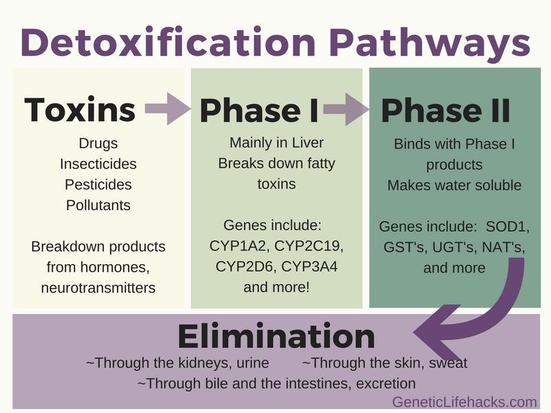 Detoxification Phase I And Phase Ii Metabolism Is Genetic Genetic